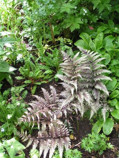 Athyrium niponicum var pictum (Athyrium niponicu m)