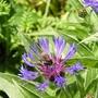 Centaurea_montana3