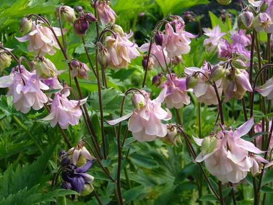 more frilly aquilegia (Aquilegia sp)