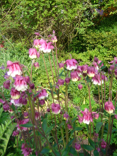 white and pink aquilegia (Aquilegia sp)