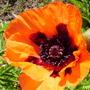 Oriental Poppy (Papaver orientale (Oriental poppy))