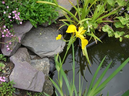 Iris pseudacorus Yellow Water Iris (Iris pseudacorus)