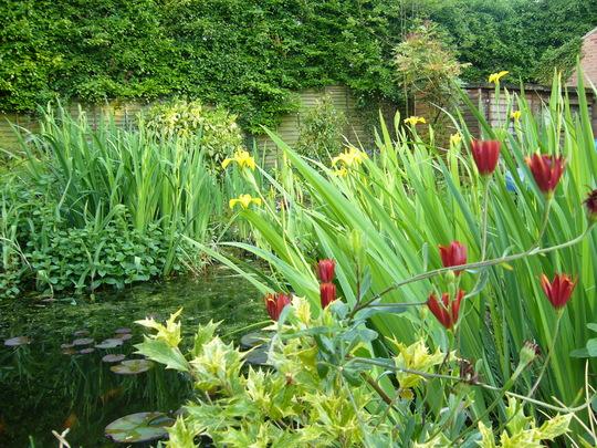 yellow flag iris (Iris pseudacorus (Yellow Flag))