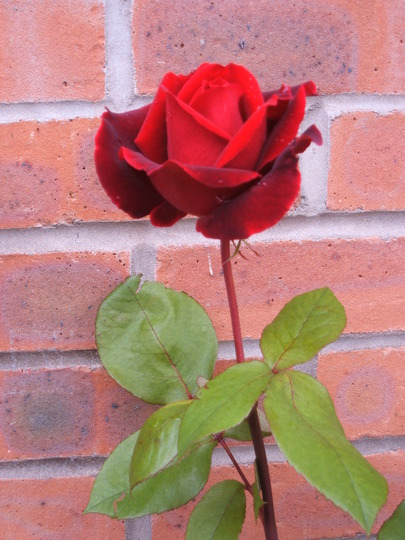 Rose Scented 2
