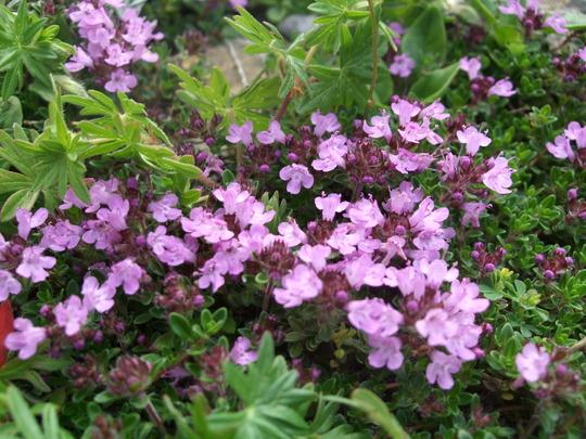 Thymus serpyllum (Thymus serpyllum (Creeping thyme))