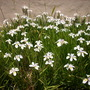 Dietes grandiflora - South African Dietes, Iris in Balboa Park, San Diego, CA. (Dietes grandiflora - South African Dietes, Iris)