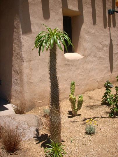 Pachypodium lamieri  - Madagascar Palm (Pachypodium lamieri  - Madagascar Palm)