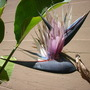 Strelitzia nicolai - Giant Bird-of-Paradise Flowers (Strelitzia nicolai - Giant Bird-of-Paradise)