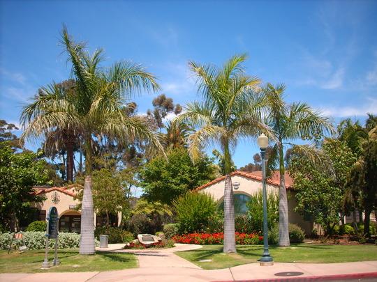 Roystonea regia - Royal Palms in Balboa Park, San Diego, CA. (Roystonea regia - Royal Palm)