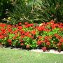 Pelargonium hybrid - Common Red Geranium (Pelargonium hybrid - Common Geranium)