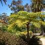 Cyathea cooperi - Australian Tree Fern (Cyathea cooperi - Australian Tree Fern)