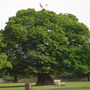 English Oak Tree Wanstead Green