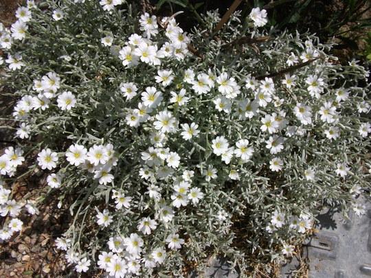 Cerastium Snow in summer (Cerastium tomentosum)