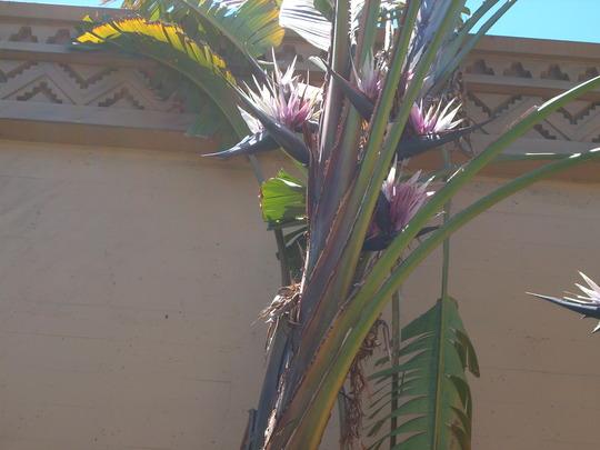 Strelitzia nicolai - Giant Bird-of-Paradise flowers (Strelitzia nicolai - Giant Bird-of-Paradise)