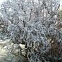 hazel (Corylus avellana 'Contorta) in frost (Corylus avellana 'Contorta)