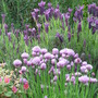 Chives and French Lavender (Lavandula stoechas (French lavender))