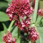 Red Valerian (Centranthus ruber (Red valerian))