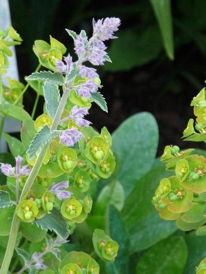 Nepeta and Euphorbia (Nepeta racemosa (Catmint))