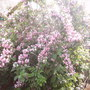 Weigela (Weigela florida)