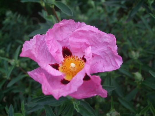 Cistus x purpureus (Cistus x purpureus)