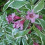 Weigela_monet_