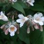 Kolkwitzia amabilis (Kolkwitzia amabilis (American Beauty Bush))