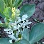broadbean flowers.