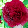 Peony_in_full_bloom