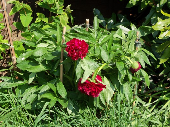 just coming out (Paeonia lactiflora (Peony))