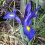 Dutch_iris_2_2010