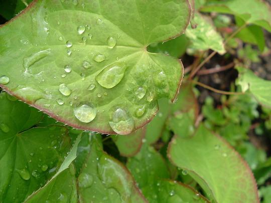 Raindrops on epimedium leaves