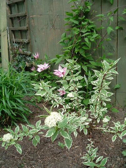 """Cornus alba """"Sibirica variegata"""" and clematis """"Omoshiro"""""""