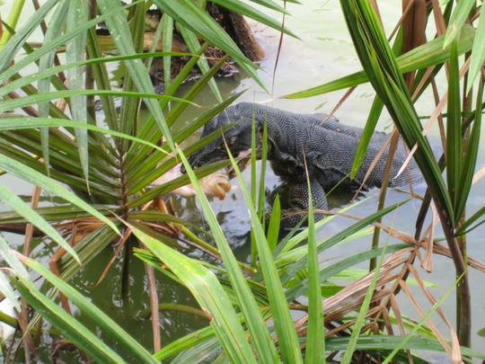 Monitor Lizard Fishing at a pond.