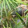 Monitor Lizard bashing its prey