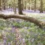 Bluebells (Hyacinthoides non-scripta (Bluebell))