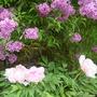Peonies & Lilac