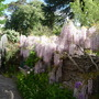 Wisteria Pink Ice