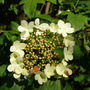 Guelder rose  (Viburnum opulus (Guelder rose))