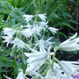 Green and white bells (Ornithogalum nutans (Drooping Star of Bethlehem))