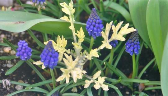 Grape Hyacinth and Artemisia (Artemisia vulgaris (Wormwood))