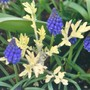 Grape Hyacinth and Artemisia (Artemisia vulgaris (Wormwood))