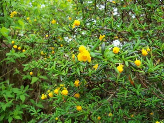 small yellow berberis (berberis x stenophylla)