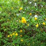 small yellow berberis (berberis x stenophylla)