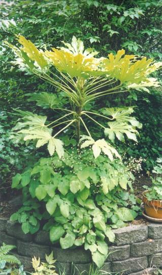 Fatsia Japonica and epimedium (Fatsia japonica (Japanese aralia))