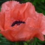 Papaver orientale - close up (Papaver orientale (Oriental poppy))