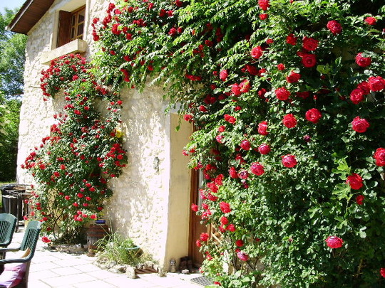 Roses at the Side of the House May 2010