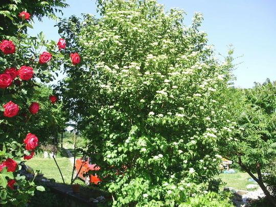 Dogwood in Bloom May 2010 (Cornus sanguinea (Common dogwood))