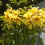 Markhamia lutea - Markhamia, Gold Markhamia Flowers (Markhamia lutea - Markhamia, Gold Markhamia)