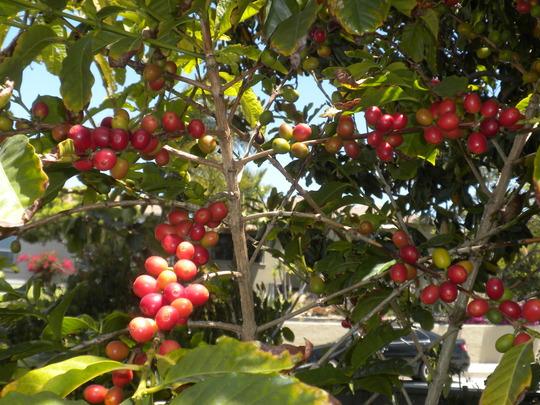 Coffea arabica - Coffee Cherries ripening (Coffea arabica - Coffee)