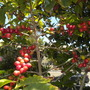 Coffea arabica - Coffee Cherries ripening (Coffea arabica - Coffee)